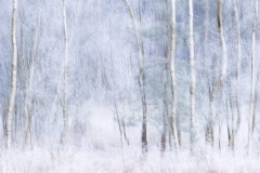 Winter Birch 2