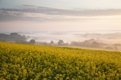 Rapeseed - Bury Hill