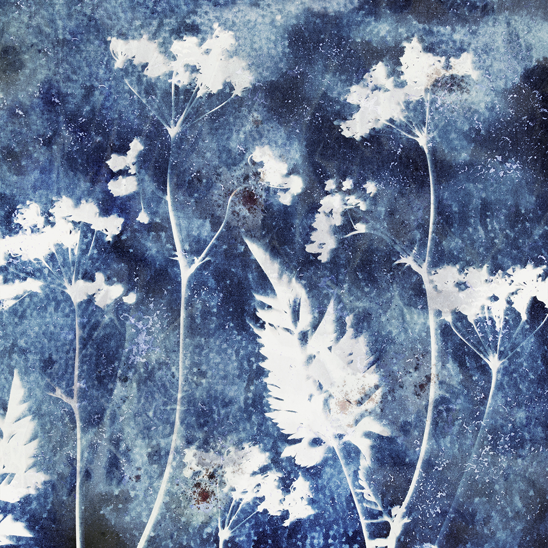 Cyanotype-Cow-Parlsley