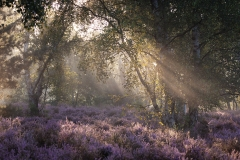 Morning Rays  - Thursley