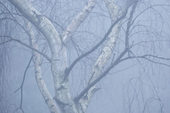 Birch in the Fog