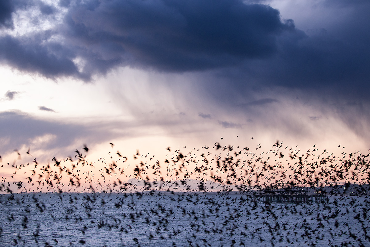 It's Raining Starlings